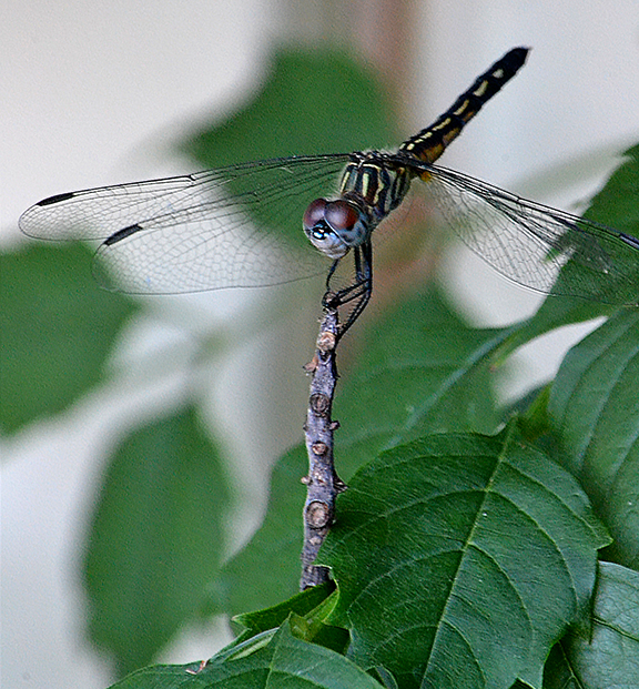 dragonfly2016sm