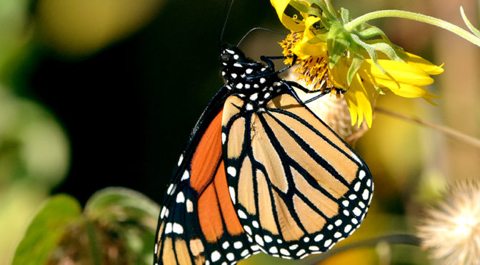 A New Series: Wildlife Gardens in Texas: Milkweed plants for Monarch butterflies