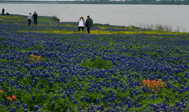 This image has an empty alt attribute; its file name is bluebonnets.jpg