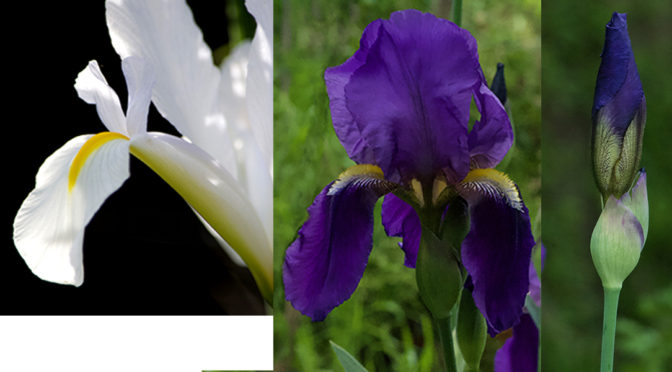 Iris: The First Highlight in the SPring Garden 2020