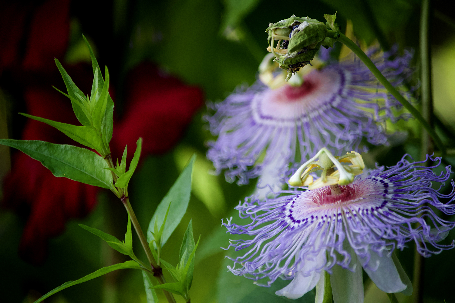 Passionflower and Gladiola
