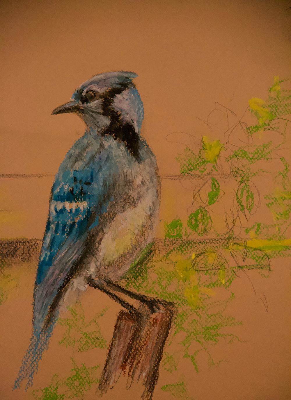 Blue Jay in Back Yard